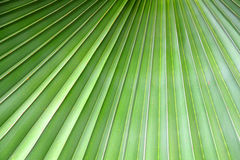 Cierre del fondo del verdor encima de la hoja de palma Foto de archivo