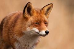 Cierre del Fox para arriba foto de archivo