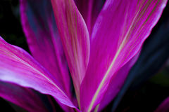 Cierre del fruticosa del Cordyline para arriba, detalle de la naturaleza Fotos de archivo