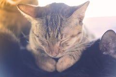 Cierre del gato de Brown los ojos y el dormir imagen de archivo libre de regalías