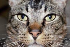Cierre del gato de gato atigrado para arriba imagenes de archivo