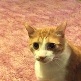 Cierre del gato de Leo para arriba Fotos de archivo