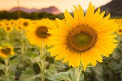 Cierre del girasol de la plena floración para arriba fotografía de archivo
