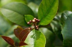 Cierre del grupo del flor del limón de Meyer para arriba contra las hojas verdes y del rojo foto de archivo