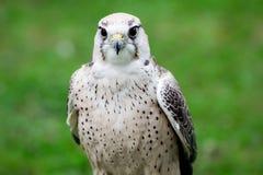 Cierre del halcón de Lanner para arriba Foto de archivo libre de regalías