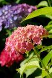 Cierre del Hortensia Fotografía de archivo libre de regalías