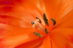Cierre del interior del tulipán para arriba Foto de archivo