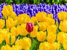 Cierre del jardín de los tulipanes para arriba Imagen de archivo