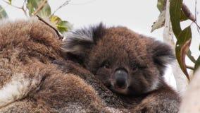 Cierre del joey de la koala para arriba metrajes