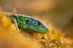 Cierre del lagarto de arena para arriba Foto de archivo libre de regalías