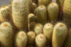 Cierre del leninghausii de Notocactus encima de la planta imágenes de archivo libres de regalías