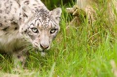 Cierre del leopardo de nieve para arriba imagen de archivo