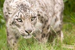 Cierre del leopardo de nieve para arriba imagenes de archivo