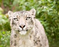 Cierre del leopardo de nieve para arriba foto de archivo