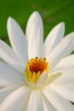 Cierre del loto blanco para arriba Imagen de archivo