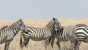 Cierre del mediodía para arriba de una manada de la cebra en masai Mara almacen de video
