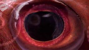 Cierre del ojo de pescados para arriba foto de archivo libre de regalías