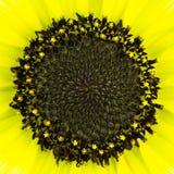 Cierre del ojo del girasol para arriba imagen de archivo libre de regalías