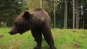 Cierre del oso de Brown en naturaleza almacen de video