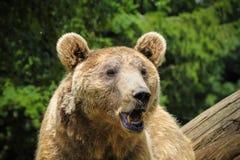 Cierre del oso de Brown para arriba Imagenes de archivo