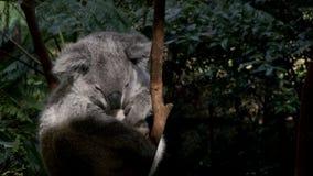 Cierre del oso de koala para arriba almacen de video