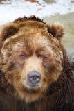 Cierre del oso del grisáceo para arriba Foto de archivo