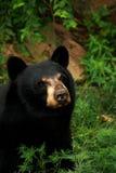 Cierre del oso negro para arriba Fotos de archivo
