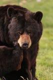 Cierre del oso negro para arriba Fotografía de archivo