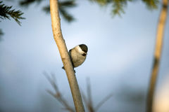 Cierre del pájaro del Tit que se incorpora en rama Imágenes de archivo libres de regalías