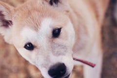 Cierre del perrito de Akita para arriba Imágenes de archivo libres de regalías
