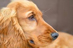 Cierre del perrito del perro de aguas de cocker para arriba imágenes de archivo libres de regalías