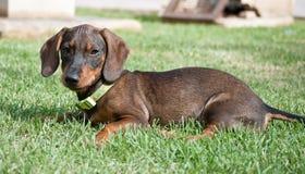 Cierre del perrito del perro basset para arriba en hierba verde Fotografía de archivo