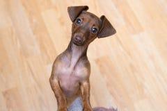Cierre del perrito del perro basset para arriba pet Aislante lindo del perro foto de archivo libre de regalías