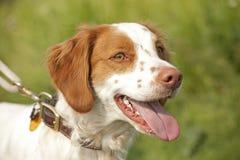 Cierre del perro de aguas de Bretaña para arriba Fotos de archivo