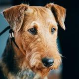 Cierre del perro de Brown Airedale Terrier encima del retrato imagen de archivo
