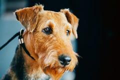 Cierre del perro de Brown Airedale Terrier encima del retrato imagen de archivo libre de regalías