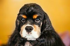 Cierre del perro de cocker spaniel del americano para arriba Foto de archivo