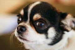 Cierre del perro de la chihuahua encima del retrato Imagen de archivo