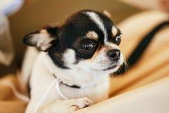 Cierre del perro de la chihuahua encima del retrato Foto de archivo libre de regalías