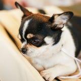 Cierre del perro de la chihuahua encima del retrato Fotografía de archivo libre de regalías