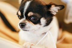 Cierre del perro de la chihuahua encima del retrato Imagenes de archivo