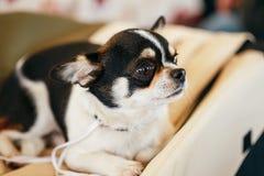 Cierre del perro de la chihuahua encima del retrato Fotos de archivo