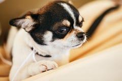 Cierre del perro de la chihuahua encima del retrato Foto de archivo