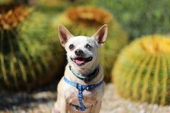 Cierre del perro de la chihuahua para arriba Fotos de archivo libres de regalías