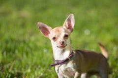 Cierre del perro de la chihuahua para arriba que mira Imagen de archivo libre de regalías