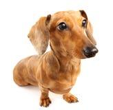 Perro del dachshund de Brown fotos de archivo libres de regalías
