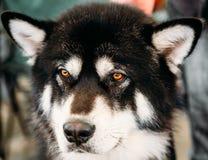 Cierre del perro del Malamute de Alaska encima del retrato Fotografía de archivo libre de regalías