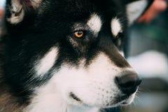 Cierre del perro del Malamute de Alaska encima del retrato Fotografía de archivo