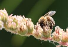 Cierre del polen del frunce de la abeja de la miel para arriba Foto de archivo