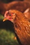 Cierre del pollo de la gallina para arriba Imágenes de archivo libres de regalías